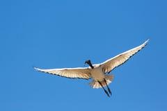 A Crane in flight Royalty Free Stock Photo
