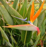 Crane Flower Fotografia Stock Libera da Diritti