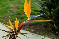 Crane Flower. Beautiful Crane Flower in California stock photo