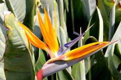 Crane flower, Bird of paradise, Strelitzia reginae. Perennial ornamental herb with two-ranked leaves on long petioles and orange beak like flowers Royalty Free Stock Images