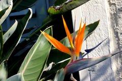 Crane flower, Bird of paradise, Strelitzia reginae. Perennial ornamental herb with two-ranked leaves on long petioles and orange beak like flowers Stock Image
