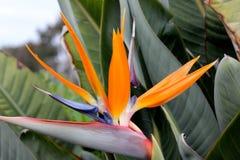 Crane flower, Bird of paradise, Strelitzia reginae. Perennial ornamental herb with two-ranked leaves on long petioles and orange beak like flowers Stock Photo
