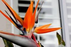 Crane flower, Bird of paradise, Strelitzia reginae. Perennial ornamental herb with two-ranked leaves on long petioles and orange beak like flowers Royalty Free Stock Photo