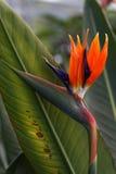 Crane Flower Stock Image