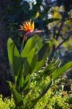 Crane Flower ou pássaro de paraíso na noite Sun Imagem de Stock Royalty Free