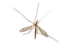 Crane Fly Royalty Free Stock Photo