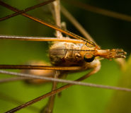 Crane fly Royalty Free Stock Photography