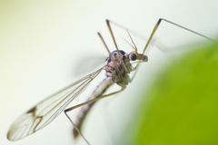 Crane Fly Photos stock