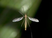Crane Fly Imagen de archivo libre de regalías