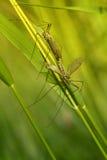 Crane Fly Fotografía de archivo