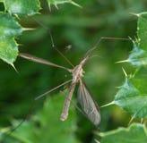 Crane Fly Fotografia de Stock Royalty Free