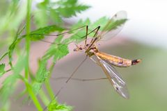 Crane Fly Royaltyfria Foton