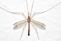 Crane Fly. A single male Crane Fly at rest stock image