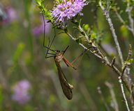 Crane Fly image libre de droits