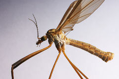 Crane fly. Insect close-up Royalty Free Stock Photography