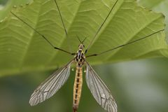 Crane fly close up. And portrait on leaf stock photography