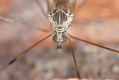 Crane Fly Close Up - longues jambes de papa image libre de droits