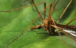 Crane fly close-up Stock Images