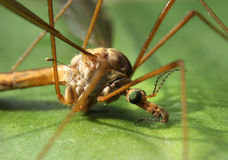 Crane fly close-up Royalty Free Stock Photos