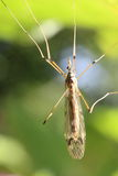 Crane Fly Royalty Free Stock Images