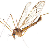 Crane fly daddy Stock Photos