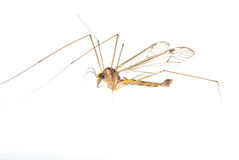 Crane fly daddy Stock Photo