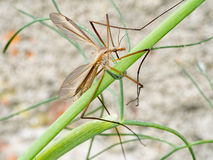 Crane fly, Daddy Longlegs, in fennel plant. Diptera. Royalty Free Stock Photos