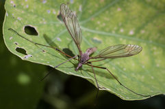 Crane fly - Daddy Longlegs - Gallynapper Royalty Free Stock Image