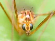 Crane Fly (falcão de mosquito) com olhos azuis brilhantes fecha-se acima do portrai Foto de Stock Royalty Free