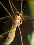 Crane Fly (falcão de mosquito) com olhos verde-claro Fotografia de Stock Royalty Free