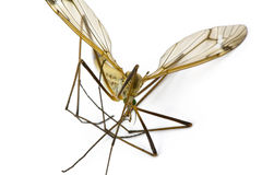 Crane Fly, Family Tipulidae Stock Photography