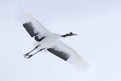 Crane in fly. Flying White bird Red-crowned crane, Grus japonensis, with open wing, with snow storm, Hokkaido, Japan. Wildlife sc