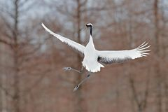 Crane in fly. Flying White bird Red-crowned crane, Grus japonensis, with open wing, with snow storm, Hokkaido, Japan. Wildlife sce. Ne from the winter Japan stock photos