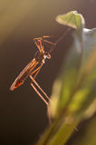 Crane fly Stock Photography