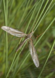 A Crane Fly. In the grass on the bank of a pond Royalty Free Stock Photo