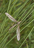 A Crane Fly. In the grass on the bank of a pond Stock Photos