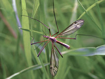 Crane-fly Royalty Free Stock Image