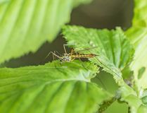 Crane fly on green leaf Stock Image