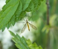 Crane fly between green leaves Royalty Free Stock Image