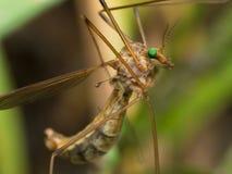 Crane Fly (halcón de mosquito) con los ojos verdes claros Foto de archivo libre de regalías