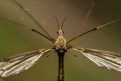 Crane fly insect Stock Photos