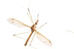 Crane Fly Isolated Royalty Free Stock Image