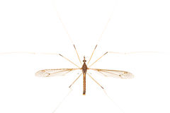 Crane Fly Isolated Royalty Free Stock Images