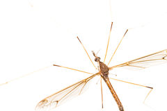 Crane Fly Isolated Stock Photography