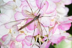 Crane Fly Stock Images