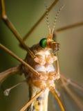 Crane Fly (Mughavik) met heldergroen ogen vooraanzicht Stock Foto's