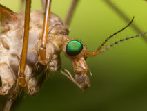 Crane Fly (myggahök) med ljust - gröna ögon stänger sig upp profil Arkivfoton