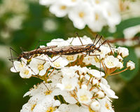 Crane fly, Nephrotoma crocata Stock Photo