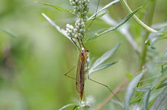Crane fly Stock Photo