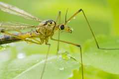 Crane fly portrait Royalty Free Stock Image